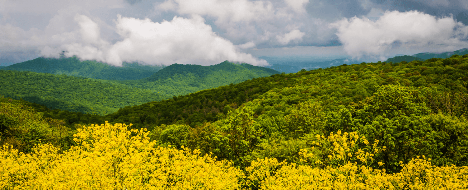 Flowers on Skyline Drive During Spring in Virginia's Blue Ridge