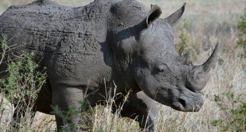 Rhinoceros in a grassy field